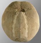 Metalia nobilis (oral)