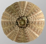Microcyphus olivaceus (aboral)