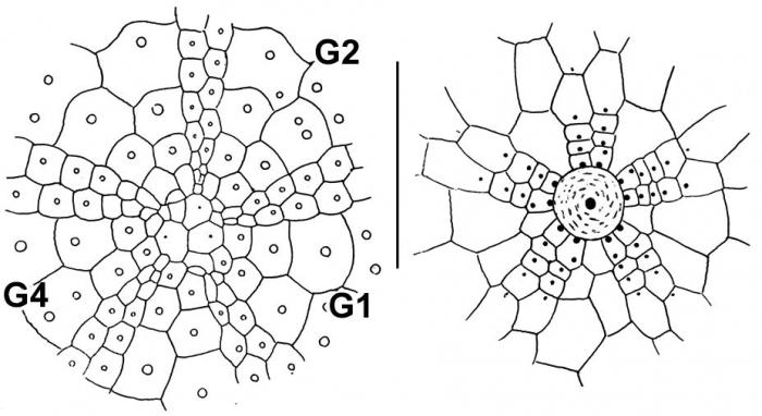 Nannolampas tenera (apical system + peristomial area)