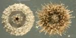 Nudechinus ambonensis (oral)