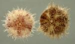 Nudechinus inconspicuus (aboral)