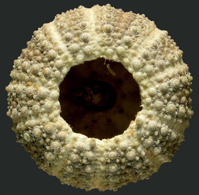 Opechinus variabilis (oral)