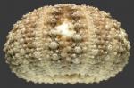 Opechinus variabilis (lateral)