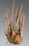 Prionocidaris hawaiiensis (lateral)
