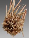 Prionocidaris hawaiiensis (oral)