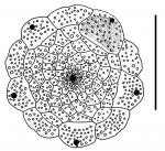 Prionocidaris hawaiiensis (apical disc)
