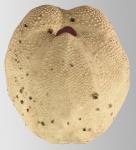 Protenaster australis (test, oral)