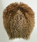 Protenaster australis (oral)