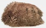 Protenaster australis (lateral)
