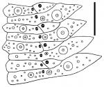 Sperosoma crassispinum (ambulacral plates)