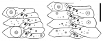 Sperosoma tristichum (ambulacral plates)