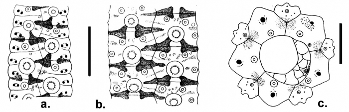 Temnopleurus apodus (coronal plates and apical disc)