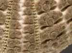 Temnopleurus hardwickii (aboral, close-up)