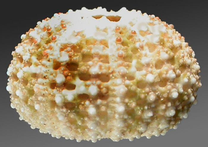Temnotrema hawaiiense (lateral)