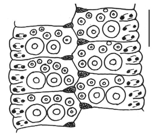 Temnotrema sculptum (ambulacral plates)