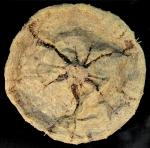 Tromikosoma uranus (aboral)