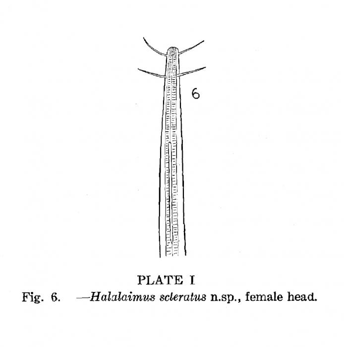 Halalaimus scleratus Timm, 1952