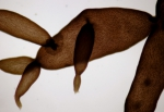 Catenella caespitosa