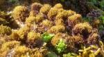 Caulacanthus ustulatus