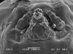 Dendrapta nasicola Irigoitia, Taglioretti & Timi, 2020