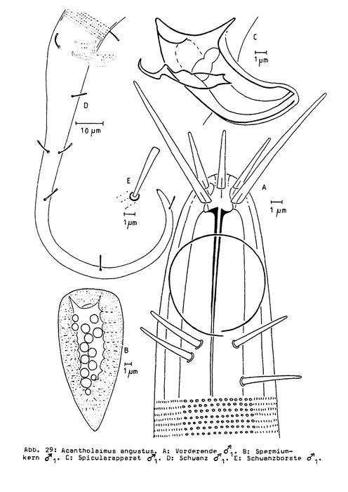 Acantholaimus angustus Bussau, 1993