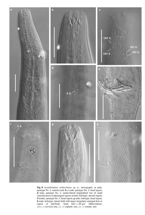 Acantholaimus arthrochaeta Miljutina & Miljutin, 2012