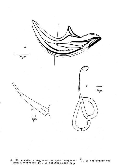 Acantholaimus maks Gerlach, Schrage & Riemann, 1979