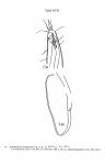 Acantholaimus longisetosus Allgén, 1933