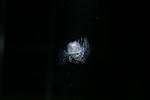 Turritopsis rubra
