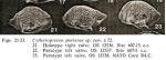 Cytheropteron porterae Whatley & Coles_1987_from original description