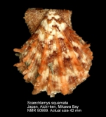 Scaeochlamys squamata
