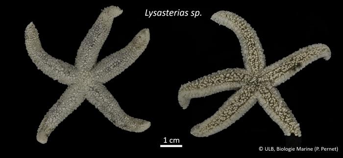 Lysasterias