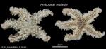 Peribolaster macleani