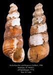 Tachyrhynchus spitzbergensis Golikov, 1986. Holotype