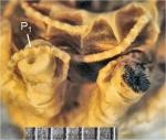 Psathyrometra major A. H. Clark, 1912, holotype, P1