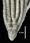 Asterometra lepida A. H. Clark, 1908, holotype, centrodorsal and proximal rays.