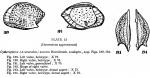Cytheropteron (Cytheropteron) aureum Hornibrook, 1952 from the original description