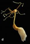 Lernaeolophus sultanus