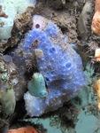 Dysidea etheria (blue sponge) at Bocas de Toro (Panama, Caribbean)