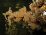 Mycale (Zygomycale) angulosa at Bocas del Toro (Panama, Caribbean)