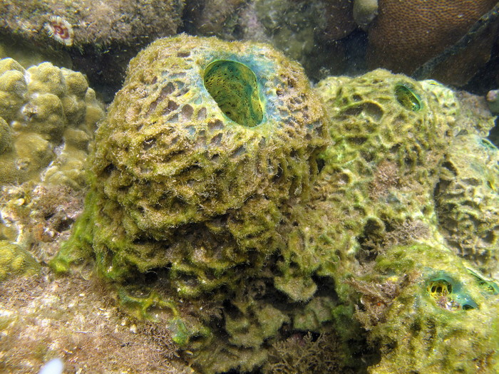 Verongula reiswigi at Bocas del Toro (Panama, Caribbean)