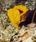 Dictyonella foliaformis holotype in situ