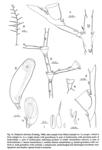 Halopteris alternata, from Schuchert (1997)
