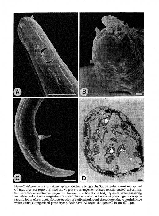 Astomonema southwardorum Austen, Warwick & Ryan, 1993