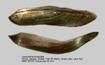 Lanceolaria lanceolata