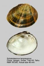 Schistodesmus lampreyanus