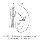 Rhabdocoma brevicauda Schuurmans Stekhoven, 1950