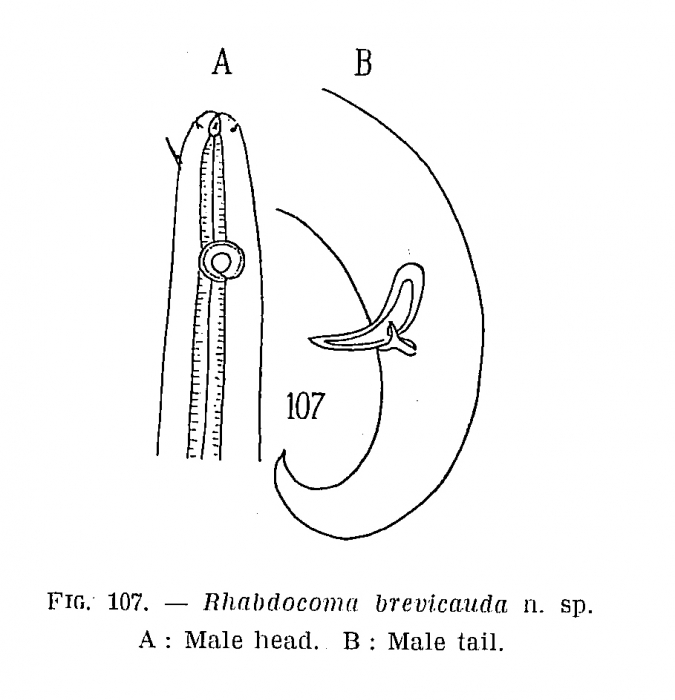 Astomonema brevicauda (Shuurmans Stekhoven, 1950) (Vitiello, 1971) Vidakovik & Boucher, 1987