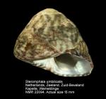 Steromphala umbilicalis