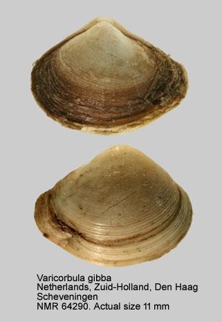 Varicorbula gibba
